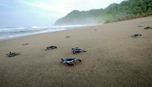 Sukamad Beach Turtle, East Java